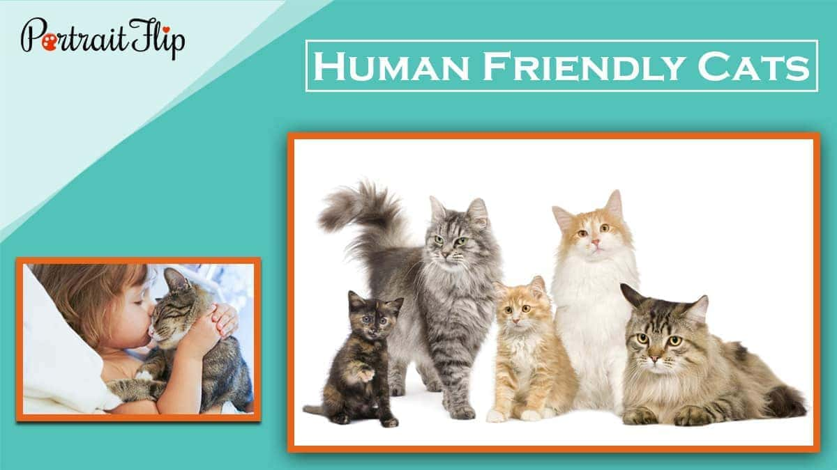 Human friendly cats