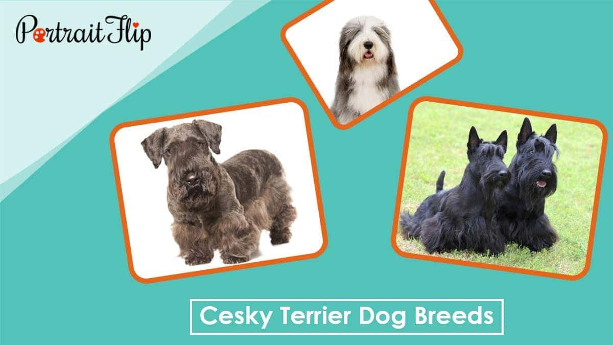 Cesky terrier dog breeds