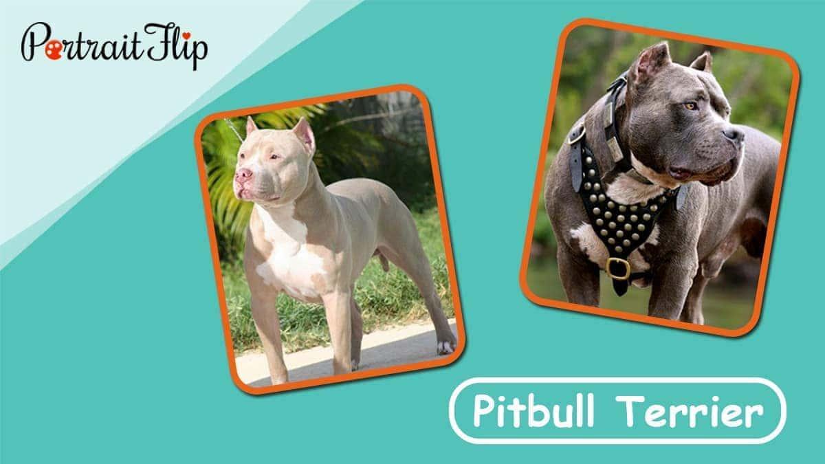 Pitbul terrier